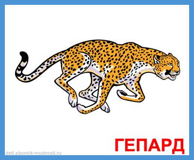 гепард - дикие животные