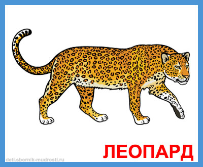 леопард - дикие животные
