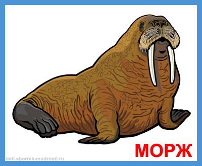 морж - дикие животные