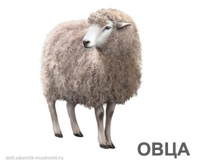 овца - домашние животные