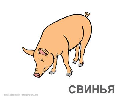 свинья - домашние животные